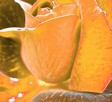 Orange Rose by PPPhotoArt