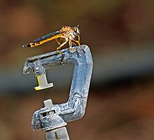 Robber Fly on Garden Sprinkler by Aldi221