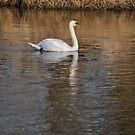 Lone Swan by Jason Kiely