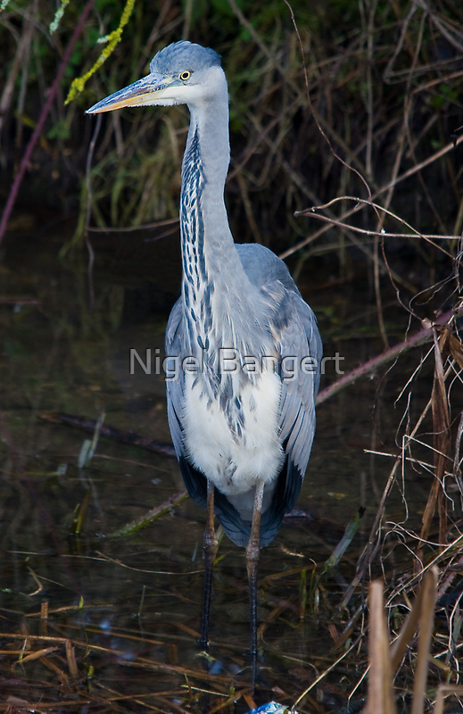Heron Wading by Nigel Bangert