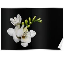 Freesia on black...#2 Poster