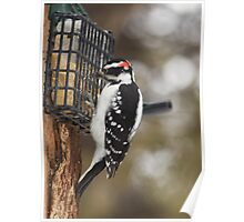 Woody the Hairy woodpecker is hungry Poster