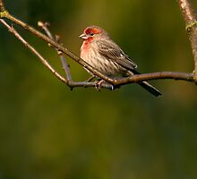 MALE HOUSE FINCH by Sandy Stewart