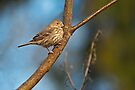 FEMALE HOUSE FINCH by Sandy Stewart