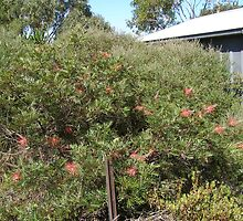 Robyn Gordon Grevillea near shed 22 yrs. by Rita Blom