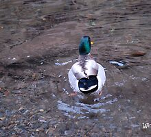 Winter fowl in the little pigeon river! by click67