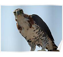 "Ornate Hawk Eagle ""You talkin' to me?"" Poster"