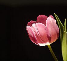 Simple Tulip by Geoff Hunter
