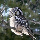 The look ~ Northern Hawk Owl by Jeannine St-Amour