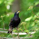 European Starling Sturnus vulgaris  by Bonnie Robert