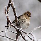 Pine Siskin by Larry Trupp