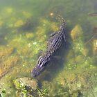 Alligator in the Florida Keys by aura2000