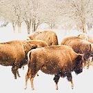 Snowy Herd by sundawg7