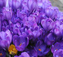 Spring Delight - Crocuses by goddarb