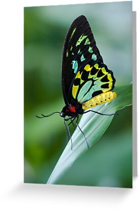 Cairns Birdwing Butterfly by Jenny Dean