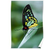 Cairns Birdwing Butterfly Poster
