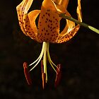 Leopard Lily or California Tiger Lily by John Butler