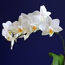 Orchid Magnificence. by vette