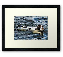 Swimming Springer Framed Print