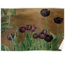 Tulips..Queen Of The Night Variety Poster