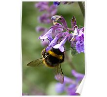 bumble bee sipping nectar Poster