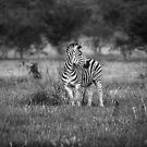 Zebra by Nigel Bryan