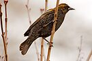 MALE RED-WINGED BLACKBIRD ( immature) by Sandy Stewart