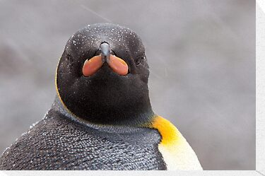 King Penguin Stare by tara-leigh