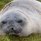 Elephant Seal by tara-leigh