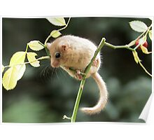 Dormouse Poster