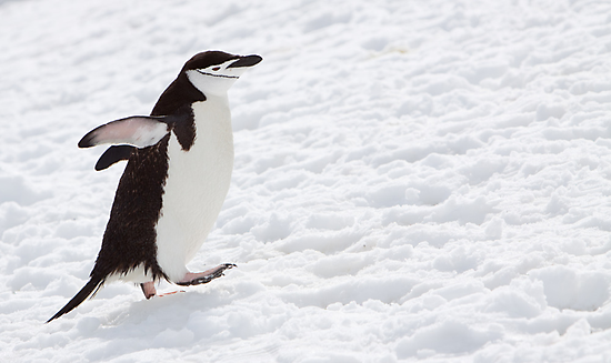 Chinstrap Penguin by tara-leigh