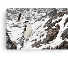 Chinstrap Penguin Canvas Print