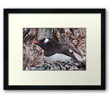 Nesting Gentoo Framed Print