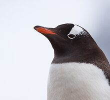 Gentoo Penguin Portrait by tara-leigh