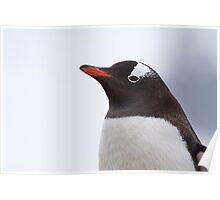 Gentoo Penguin Portrait Poster
