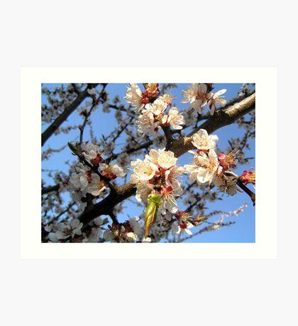 Blossoming apricot Art Print