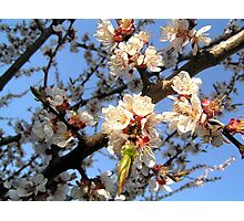 Blossoming apricot Photographic Print