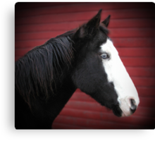 Blue Eyed Black and White Paint Horse Canvas Print