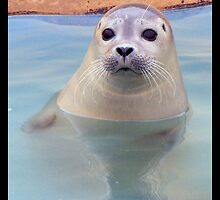 Seal pup by amylw1