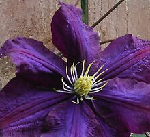 Purple Clematis Blossom by MidnightMelody