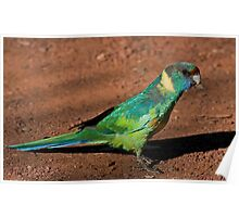Mallee Ringneck 2 Poster