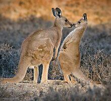Kissing Kangaroos by Seesee