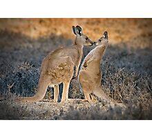 Kissing Kangaroos Photographic Print