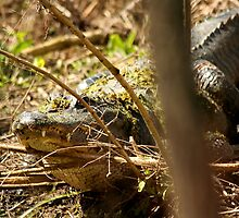 Gator by H & B Wildlife  Nature Photography