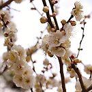 Pretty Plum Blossom by Vittorio Zumpano