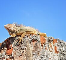 Iguana by baldguylele