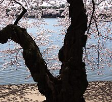 """Cherry Blossoms"" - Washington DC 2009 by jwhimages"