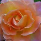 Rosa 'Daybreaker' by Julie Sherlock