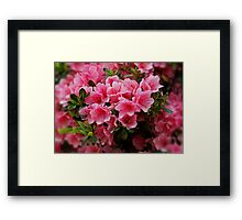 Pink Azaleas  Framed Print