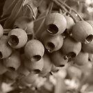 Gumnuts in Sepia by Lozzar Flowers & Art